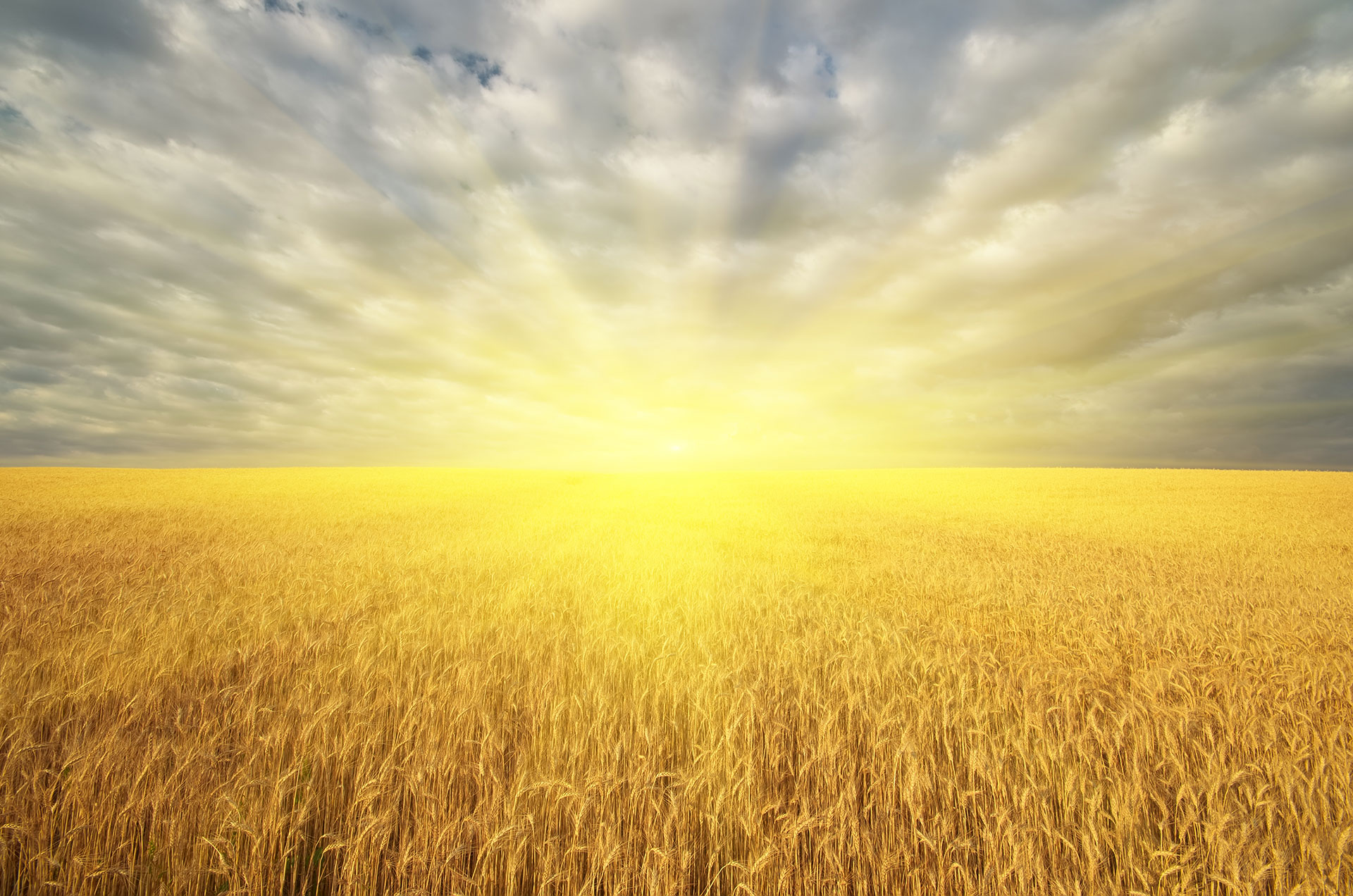 meadow of golden wheat and big sunshine